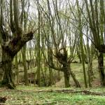 Kopfbaumwald_bei_Campow